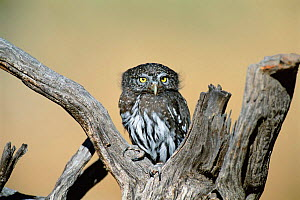 Northern pygmy owl {Glaucidium gnoma}  NM, USA  -  Tom Vezo