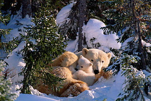 Female Polar bear with very small cubs {Ursus maritimus} Canada  -  David Pike