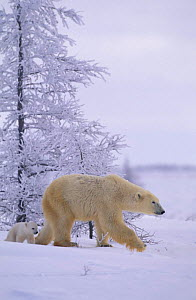 Polar bear walking with very small cub {Ursus maritimus} Watchee lodge, Canada  -  David Pike
