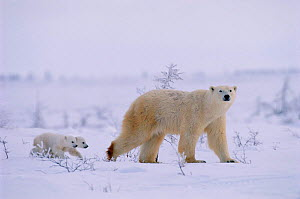 Polar bear walking with very small cubs following {Ursus maritimus} Canada  -  David Pike