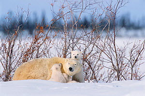 Polar bear with very small cubs {Ursus maritimus} Canada  -  David Pike