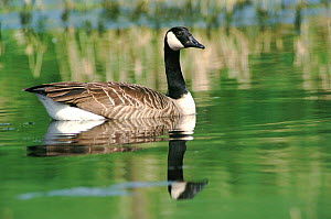 Canada goose swimming portrait {Branta canadensis} England UK  -  WILLIAM OSBORN
