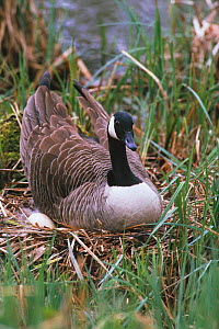 Canada goose sitting on eggs at nest {Branta canadensis} Wiltshire England UK - WILLIAM OSBORN