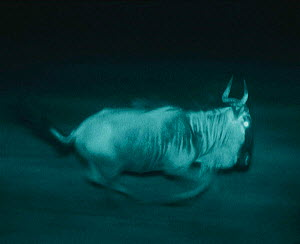 Wildebeest running {Connochaetes taurinus} in pitch black night. Serengeti, Tanzania, East Africa. Infra red image from 'Starlight' camera. Image from film - Martin Dohrn