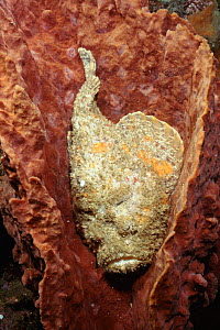 Reef stonefish {Synanceja verrucosa} Lembeh Strait, Sulawesi Indonesia - the most venomous reef fish, potentially fatal - Constantinos Petrinos