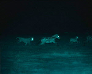 Male Lion hunting zebra at night, Serengeti NP, Ngorongoro Conservation Area, Tanzania, East Africa. Image taken using 'Starlight Camera' technology and infra-red light. - Martin Dohrn