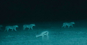 Holding head low, a Gazelle watches lion pride walk by. Serengeti NP, Ngorongoro Conservation Area, Tanzania. Image taken at night using 'Starlight Camera' technology and infra red light. - Martin Dohrn