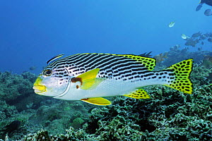 Lined / Oblique-Banded sweetlips {Plectorhynchus lineatus} Lembeh Strait, - Constantinos Petrinos