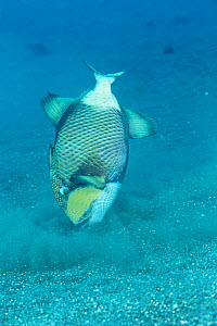 Titan triggerfish hunting {Balistoides viridescens} - stirs up sand by blasting stream of water at seabed to expose prey. Lembeh Strait, North Sulawesi Indonesia  -  Constantinos Petrinos