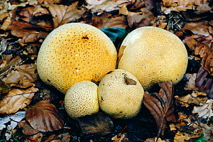 Common earthball fungus {Scleroderma citrinum} in autumn leaf litter, England, UK  -  George McCarthy