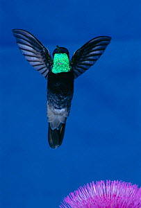 Magnificent hummingbird hovering {Eugenes fulgens} Arizona, USA  -  Barry Mansell