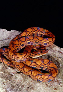 Rainbow boa {Epicrates cenchris} captive, occurs South America - Barry Mansell
