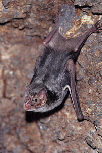 Common vampire bat (Desmodus rotundus) with mouth open, Mexico - Barry Mansell