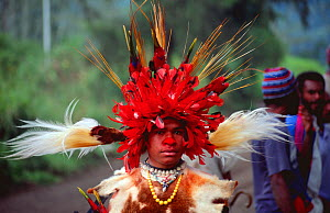 Tribal dancer in traditional dress with birds of paradise feathers in headdress, Papua New Guinea - Phil Chapman