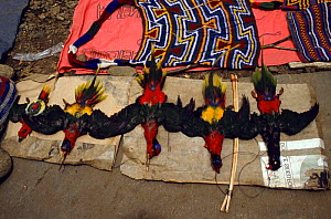 Dead Lorikeets for sale as head-dresses, Irian Jaya / West Papua, New Guinea, 1991 (West Papua).  -  NEIL NIGHTINGALE