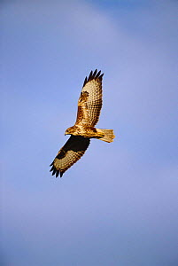 Common buzzard in flight {Buteo buteo} juvenile Wales, UK - Chris Gomersall