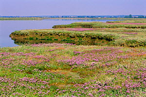Saltmarsh with Sea lavender in flower {Limonium vulgare} Essex, UK - Chris Gomersall