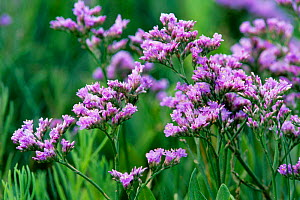 Sea lavender in flower {Limonium vulgare} Essex, UK - Chris Gomersall