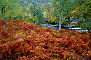 Birch woodland in autumn with river + bracken. Glen Strathfarra NNR, Scotland, UK - Pete Cairns