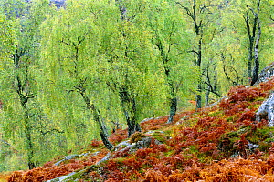 Native birch woodland in autumn, Glenstrathfarrar NNR, Scotland, UK - Pete Cairns
