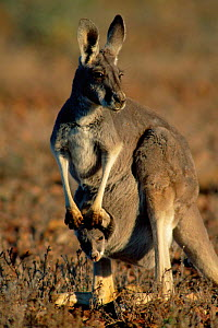 Red kangaroo female with joey in pouch {Macropus rufus} Sturt NP New South Wales, Australia  -  Owen Newman