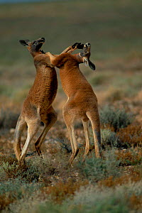 Male Red kangaroos fighting {Macropus rufus} Sturt NP, New South Wales Australia. Red kangaroos are the heavyweight boxing champions of the animal world!  -  Owen Newman