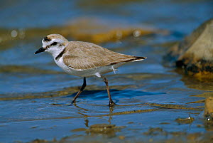 Kentish plover {Charadrius alexandrinus} Camargue, France  -  Mike Read