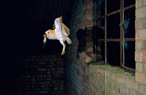 Barn owl with wood mouse prey entering barn {Tyto alba} UK - Mike Read