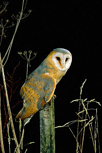 Barn owl, darker continental form {Tyto alba} captive UK - Mike Read