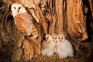Barn owl female with three chicks in nest in tree {Tyto alba} UK - Mike Read