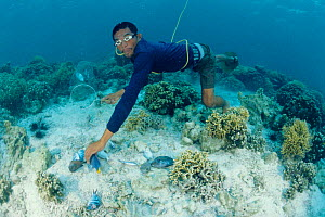 Fisherman collecting dynamited fish on coral reef, Philippines 2000  -  Juergen Freund