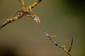 European chameleon (Chamaeleo chamaeleon) catches grasshoppper prey with tongue. Hunting sequence 2 of 2, Spain  -  Jose B. Ruiz
