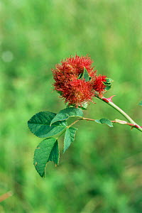 Pin cushion gall caused by Gall wasp {Diplolepis rosae} on wild dog rose, UK. - Adrian Davies