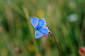 Adonis blue male butterfly {Polyommatus bellargus} Wiltshire, UK - David Kjaer