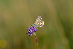 Adonis blue butterfly {Polyommatus bellargus} Wiltshire, UK - David Kjaer