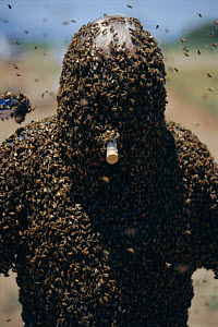 Bee man mimics queen Honey bee pheromone. Bees are attracted to protect him - Mark Brownlow