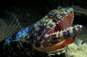 Close up of Lizardfish with mouth open (Synodus variegatus) Big Island, Hawaii USA, Pacific  NOT FOR SALE IN U.S.A.  -  Brandon Cole