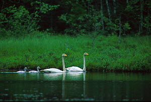 Whooper swan pair with two cygnets {Cygnus cygnus} Norway  -  Asgeir Helgestad