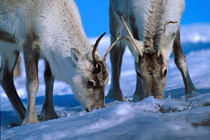Young Reindeer feeding on lichen under snow {Rangifer tarandus} Buskerud, Norway  -  Asgeir Helgestad