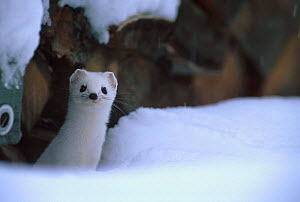 Stoat in white winter coat {Mustela erminea} Norway  -  Asgeir Helgestad