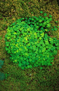 Wood sorrel leaves{Oxalis acetosella} growing on mossy tree-trunk Norway - Asgeir Helgestad