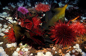 Giant red sea urchins {Strongylocentrotus franciscanus} and purple sea urchins {S purpuratus} feeding on drift kelp, Vancouver Island, British Columbia, Canada, North America NOT FOR SALE IN USA  -  Brandon Cole