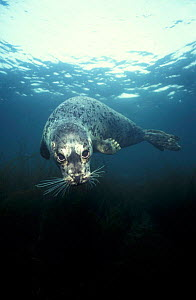 Common / Harbour seal underwater {Phoca vitulina} Vancouver Island, British Columbia Canada NOT FOR SALE IN USA  -  Brandon Cole