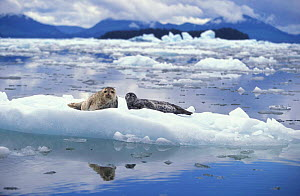 Common / Harbour seal mother and pup on ice floe {Phoca vitulina} Le Conte Glacier, Alaska, North America NOT FOR SALE IN US  -  Brandon Cole