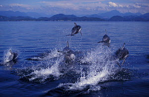 Pacific white sided dolphins porpoising {Lagenorhynchus obliquidens} Johnstone Strait Vancouver Island BC, Canada. NOT FOR SALE IN US NOT FOR SALE IN USA  -  Brandon Cole