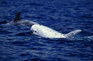Risso dolphins surfacing {Grampus griseus} Pico Island Azores Atlantic Ocean NOT FOR SALE IN US  -  Brandon Cole