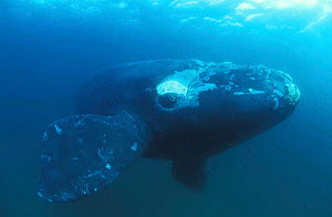 Southern right whale underwater {Balaena glacialis australis} Golfo Nuevo Peninsula Valdez, South America NOT FOR SALE IN USA - Brandon Cole