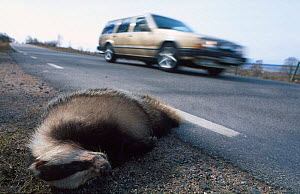 Badger road kill {Meles meles} Sweden  -  Asgeir Helgestad
