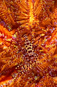 Sea urchin shrimps camouflaged on sea urchin {Periclimenes colemani} Lembeh Strait Indo Pacific NOT FOR SALE IN US - Brandon Cole