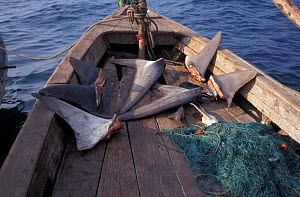 Fishermen drying shark fins, sharkfinning, Burma, Myanmar, South East Asia NOT FOR SALE IN US - Brandon Cole